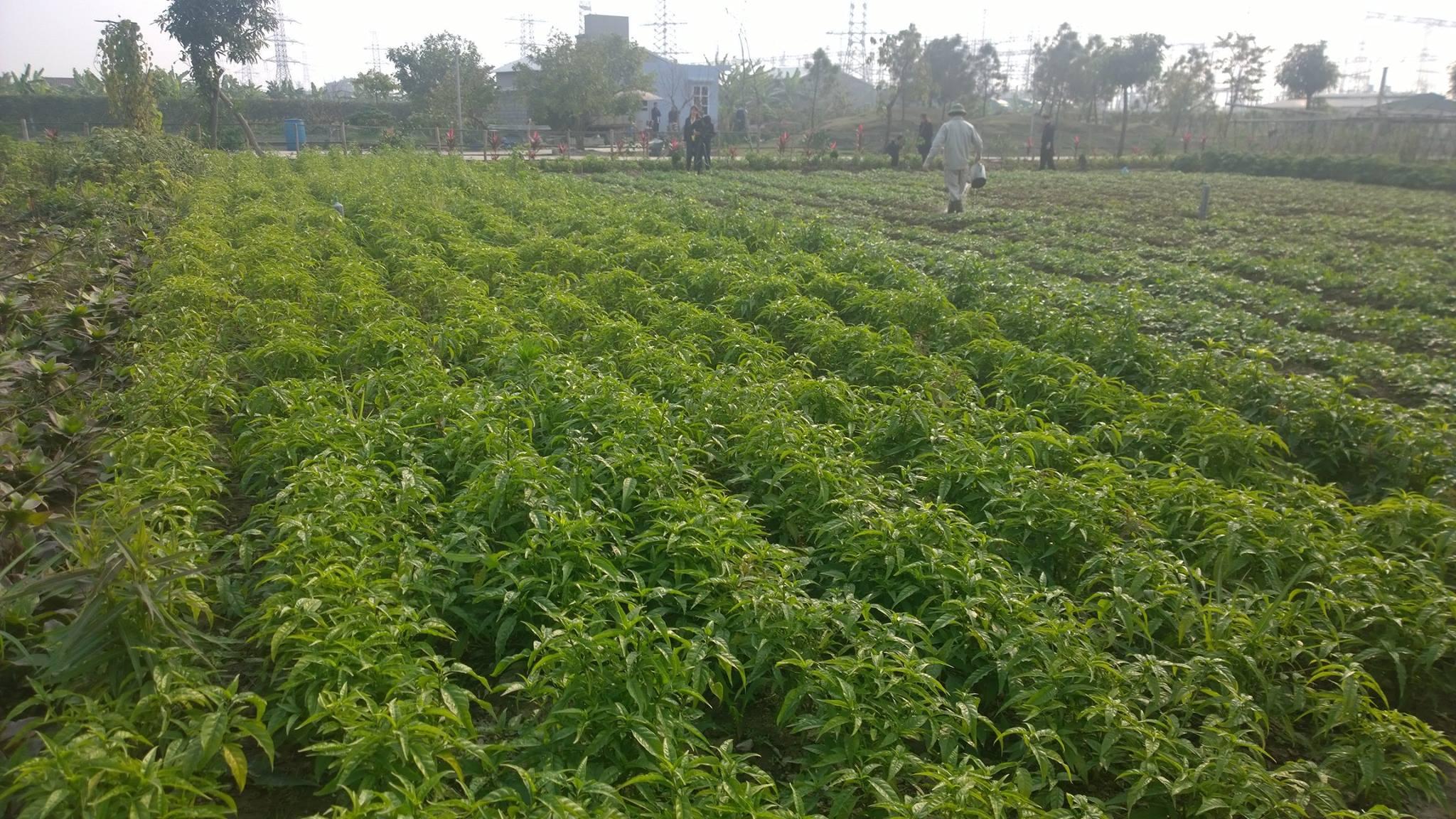 8 vùng chú trọng phát triển cây dược liệu - Trồng cây dược liệu sạch